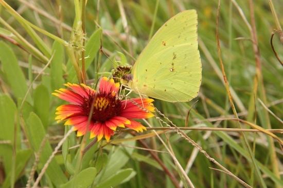 Indian Blanket flowers and butterflies are everywhere