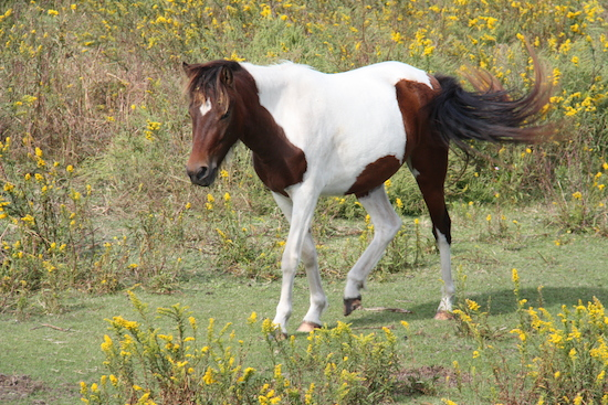 The Ocracoke paint ponies are a sad story, roads, civilization and wild ponies don't mix well.