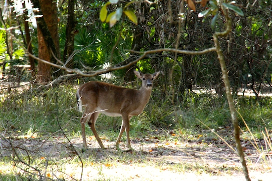 Several deer wandered through the campsites morning and late afternoon.