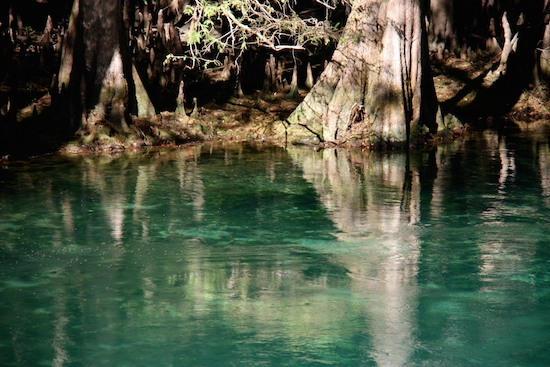 Bald Cypress trees surround the springs, adding a scenic touch with their roots and trunks.