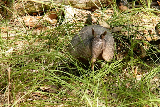 Campsite #57's resident armadillo - he startled me one evening he got so close I thought he was going to jump in my lap.