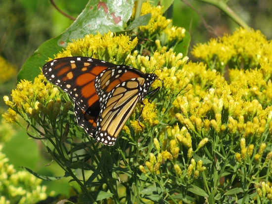 Monarch butterflies migrate to Mexico in the fall, by the dozens enjoying Gulf State Park's variety of flora.