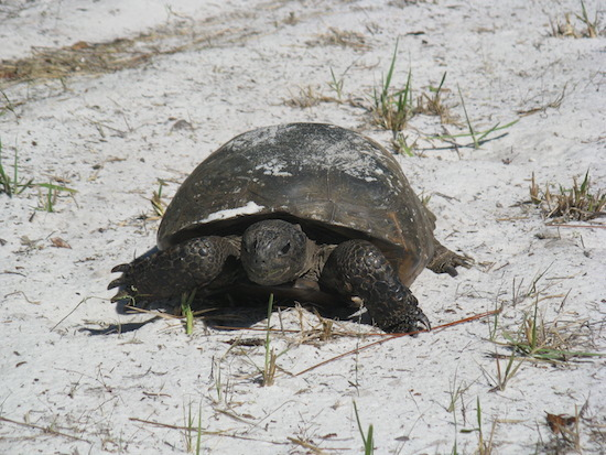 A gopher tortoise meanders close to the bike path munching grass as he goes.