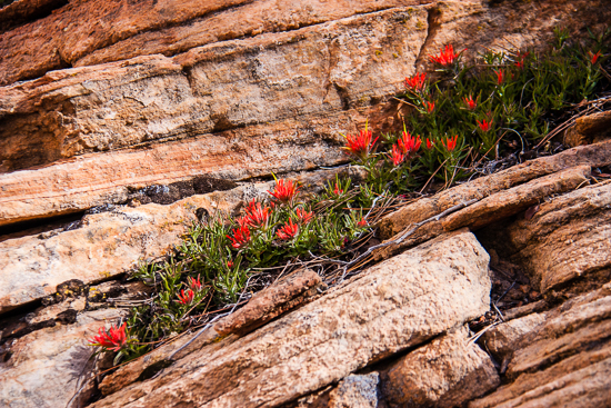 Indian Paintbrush hiding in rock crevices protected. In the most unexpected places.