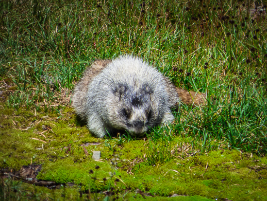 A hoary marmot just off the trail.
