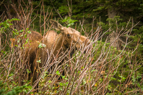 Big Mama Moose as we passed on the trail.  Not far enough, but she wasn't moving...