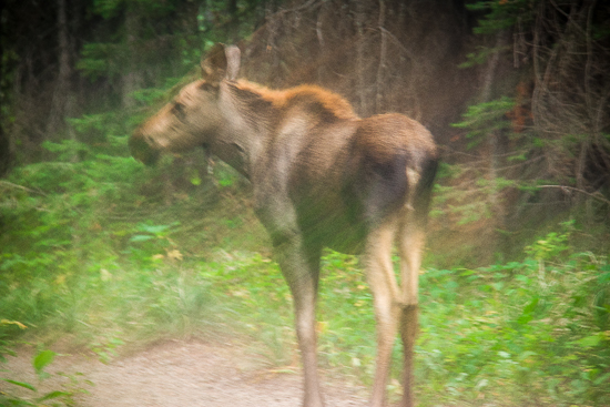 Twin Baby Moose deciding whether to continue after Joe or crash off the trail.