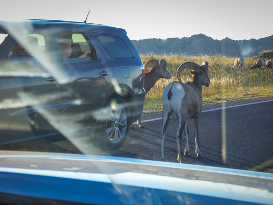 Sometimes wildlife comes to you - like this dall sheep traffic jam in Badlands Nat'l Park.