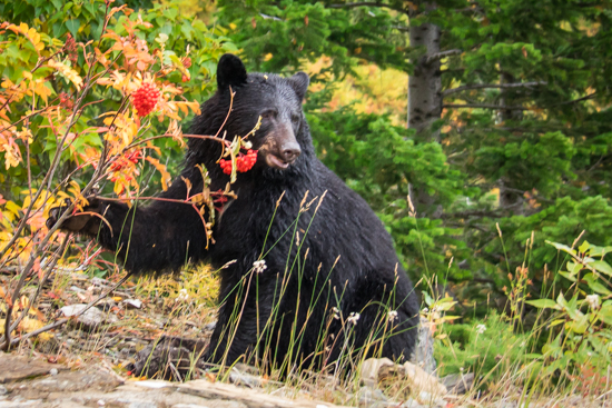 Hello Baby Bear munching on mountain ash berries beside Going To The Sun Road... a dozen cars zipped by without even seeing him... how? No idea, he's pretty obvious!