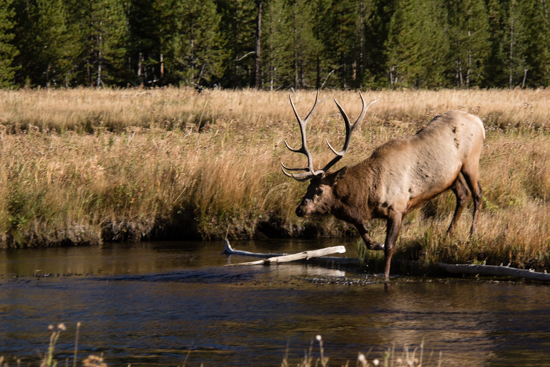 10 point Elk Buck crosses the stream to be with the females in his group.