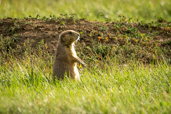 Prairie Dog towns in North and South Dakota provided endless entertainment and easy to see wildlife. Once we saw a coyote stalking through a prairie dog town right before dusk.