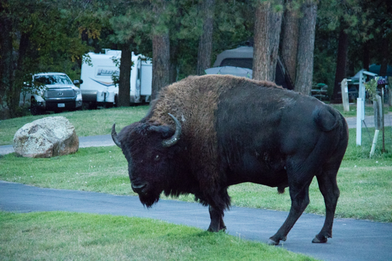 WAIT! This bison is in our campsite front yard - that's our Lance 1685 in the background!