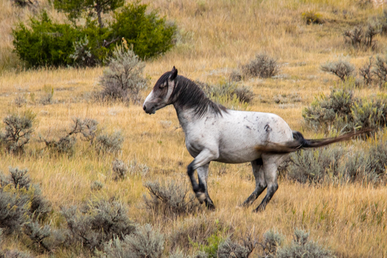 Feral (wild) horses in Theodore Roosevelt Nat'l Park.