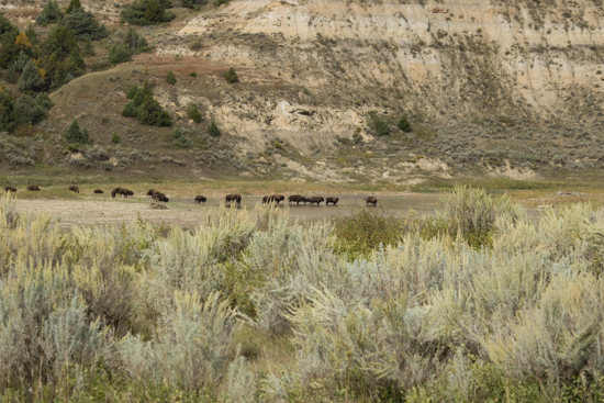 Buffalo crossing the river in Theodore Roosevelt Nat'l Park - Scenic Loop late afternoon.