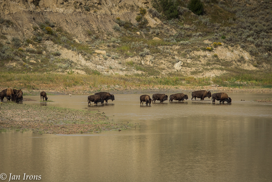 Bison Cross the River in Theodore Roosevelt Nat'l Park