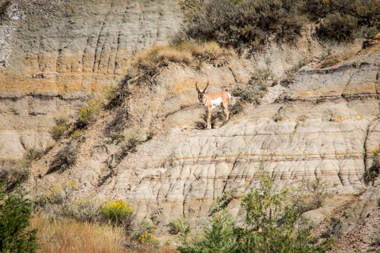 Hard to see this Pronghorn Antelope? Hard to see if you're whizzing by at 40 mph!