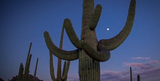 Iconic Saguaro Cactus:  10 Things You Never Knew!